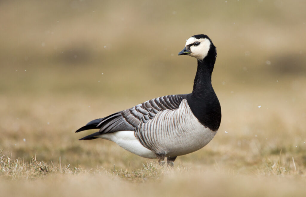 The barnacle goose, seen on very rare occasion in Maine, got its (inaccurate) name centuries ago, before humans understood migration.