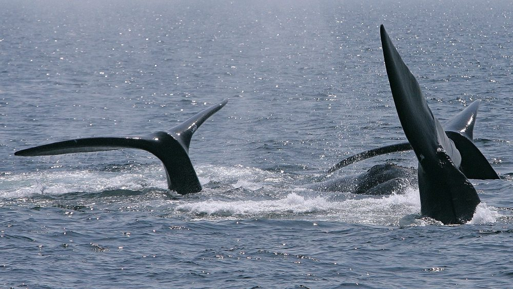 Three right whale tails surface in Cape Cod Bay on April 10, 2008, near Provincetown, Mass. A judge's April 9 ruling that the federal government didn't take adequate steps to protect endangered whales will likely result in another months-long court battle.