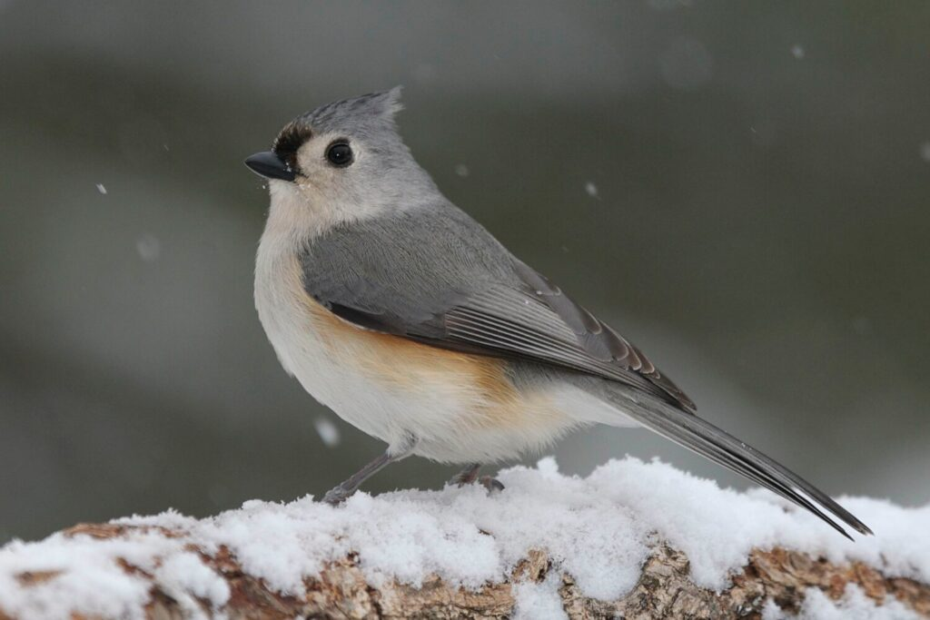 The tufted titmouse is a common backyard bird in Maine - and can be easily recognizable by its call.