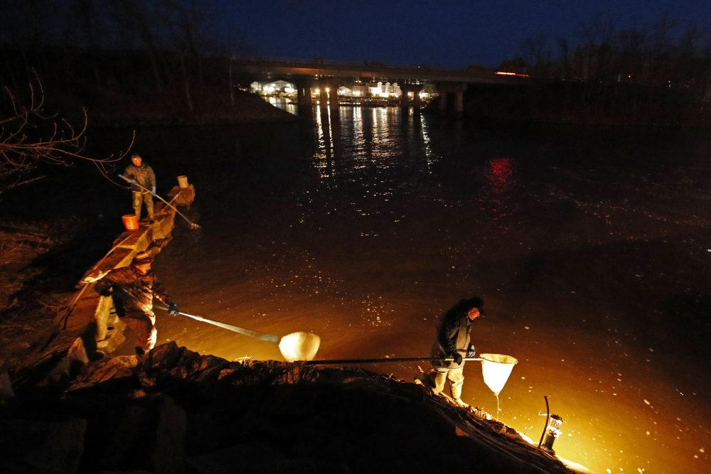 Eel fishermen use dip nets while fishing by lantern light Thursday in Yarmouth. The need to exercise social distancing while fishing is a change for elver fishermen, who sometimes line the most productive rivers and streams in the state cheek by jowl at the height of the season, which runs to early June.