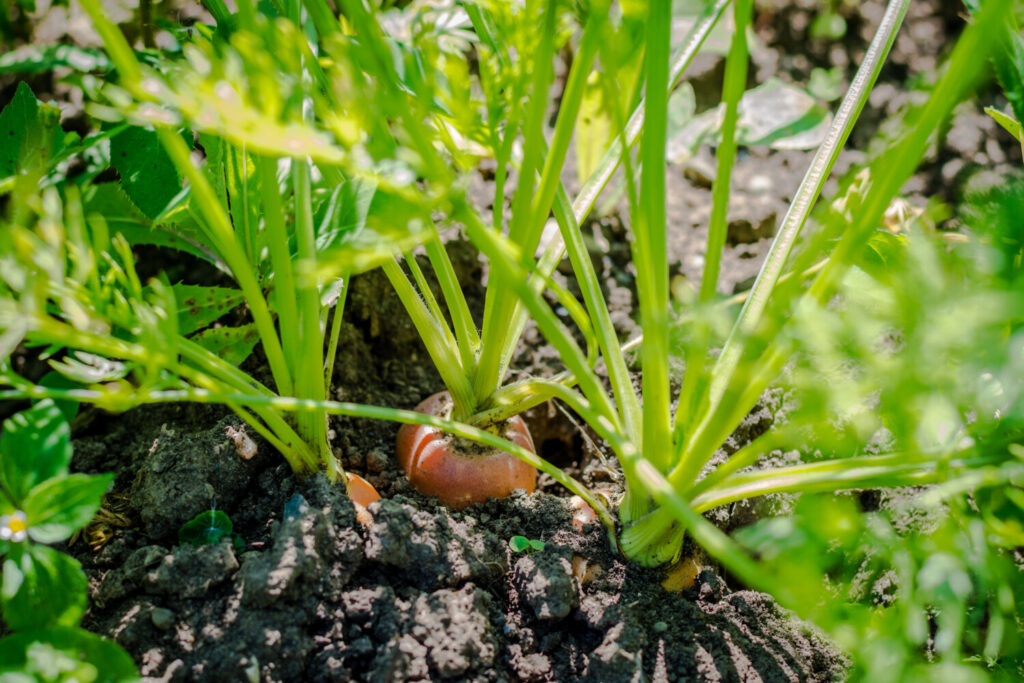Carrots can be planted in your garden right now, though they won't look like this for a while yet.