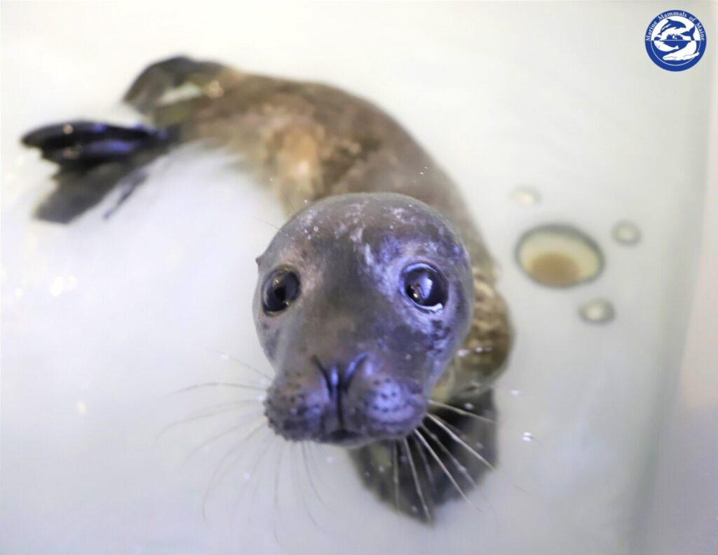 This seal pup is scheduled to be transferred Tuesday to its new home at the National Marine Life Center in Buzzards Bay, Massachusetts.