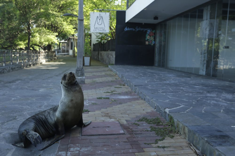 A sea lion sits outside a closed hotel on May 2 in San Cristobal, Galapagos Islands, Ecuador. The majority of the island hotels are usually occupied throughout the year, but all reservations have been canceled through July.