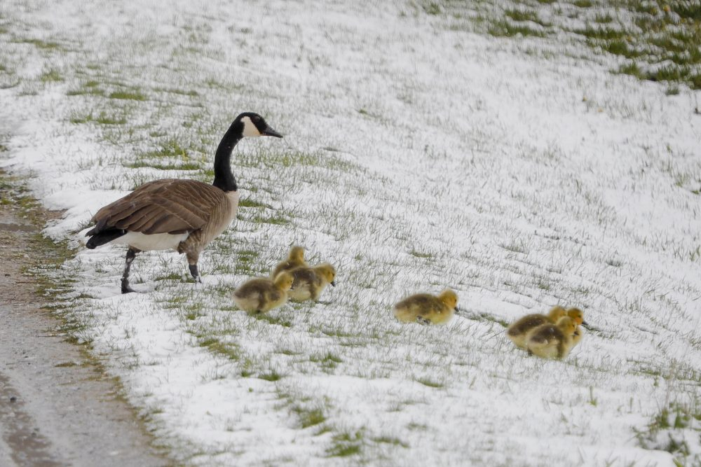 Canada geese brave a snowy slope in Lanesborough, Mass.,  on Saturday.