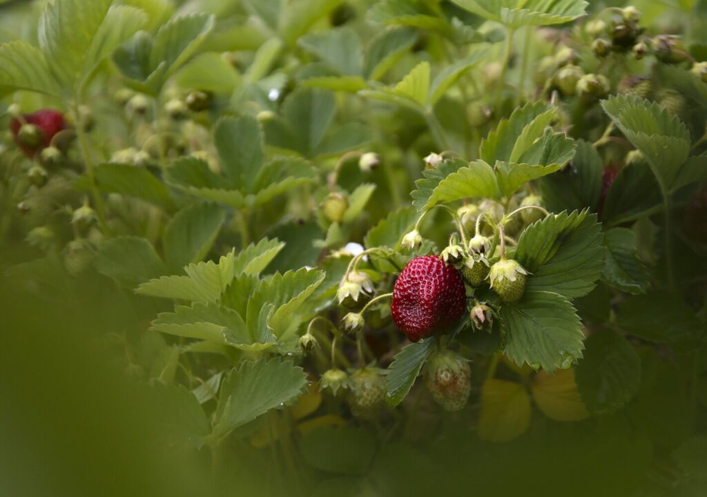 If the production of your strawberry bed has diminished, there's still hope for a fruitful bed.