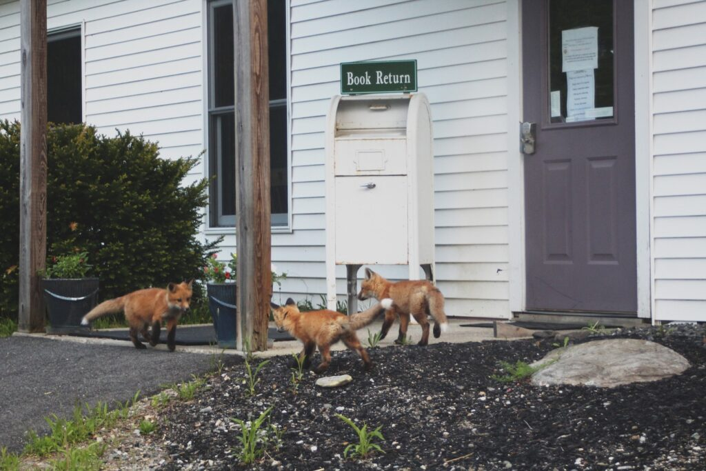 Foxes waiting for curbside pickup at Palermo Community Library.