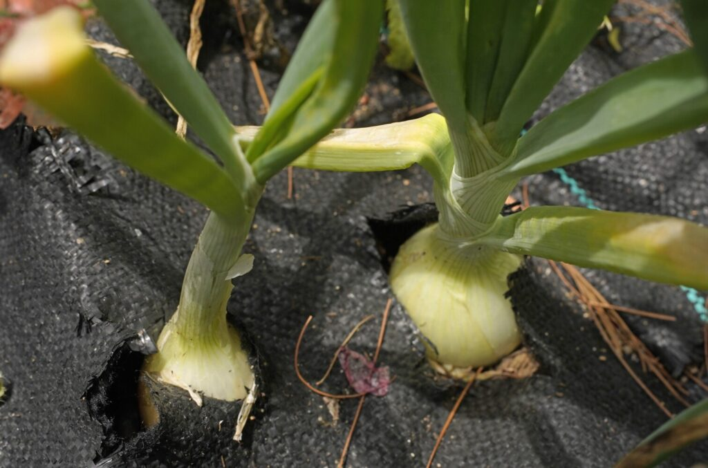 Atwell grew these onions last summer. You can keep yourself in home-grown  onions through March.