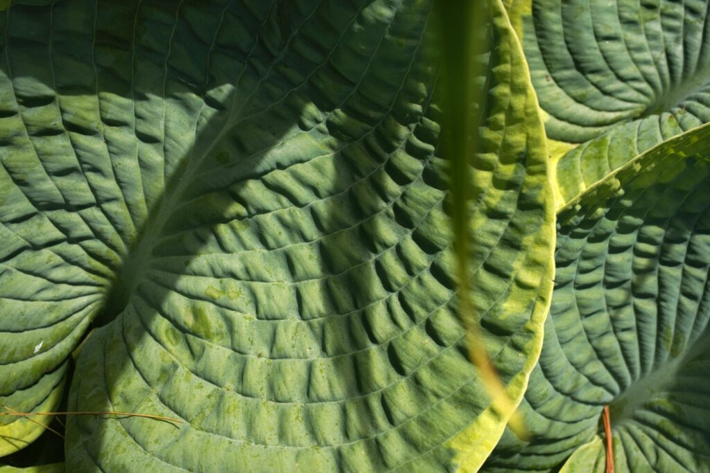 Sunlight and shadow on a hosta leaf in columnist Tom Atwell's Cape Elizabeth garden in 2020. As you can see, the hosta looks beautiful in summer and fall, but over snowless winters, the spot is brown and bare. Atwell may add a second red-leaved 'Midnight Ruby' rhododendron there to address the problem.