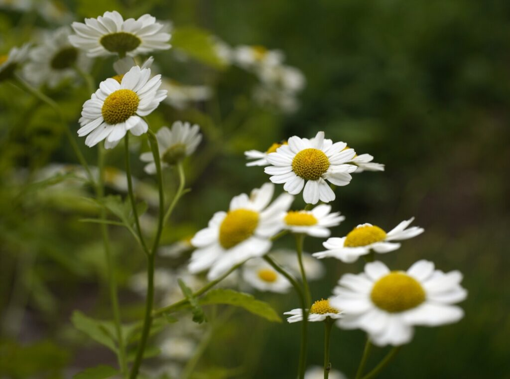 Feverfew in columnist Tom Atwell's garden in Cape Elizabeth this July. Both flowers and vegetables flourished this gardening season, despite the lack of rain.