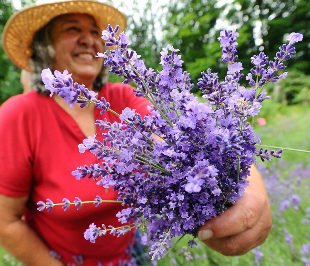 Maine's first documented lavender farmers defying the doubters