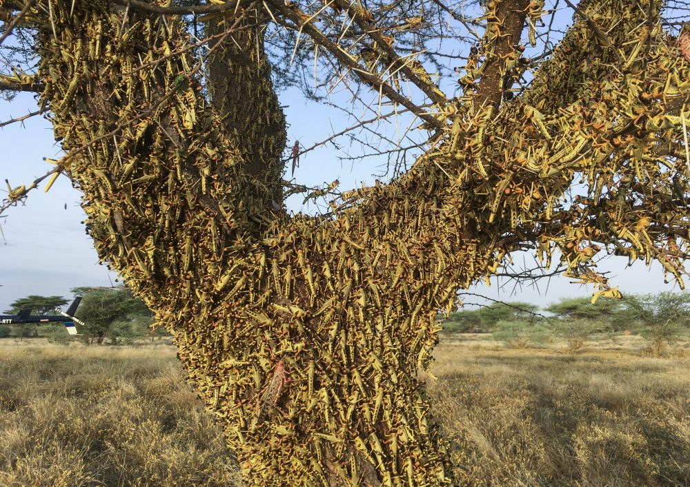 Locusts swarm on a tree in northern Kenya on June 23. The worst outbreak of the voracious insects in Kenya in 70 years is far from over, and their newest generation is now finding its wings for proper flight.