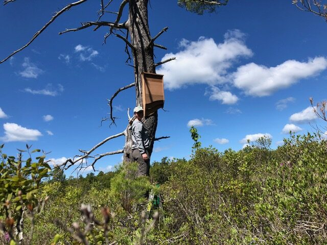 Kennebec Estuary Land Trust Regional Field Team Coordinator Alex Perry installs a bat house from BatBnB at Lilly Pond Community Forest in Bath.