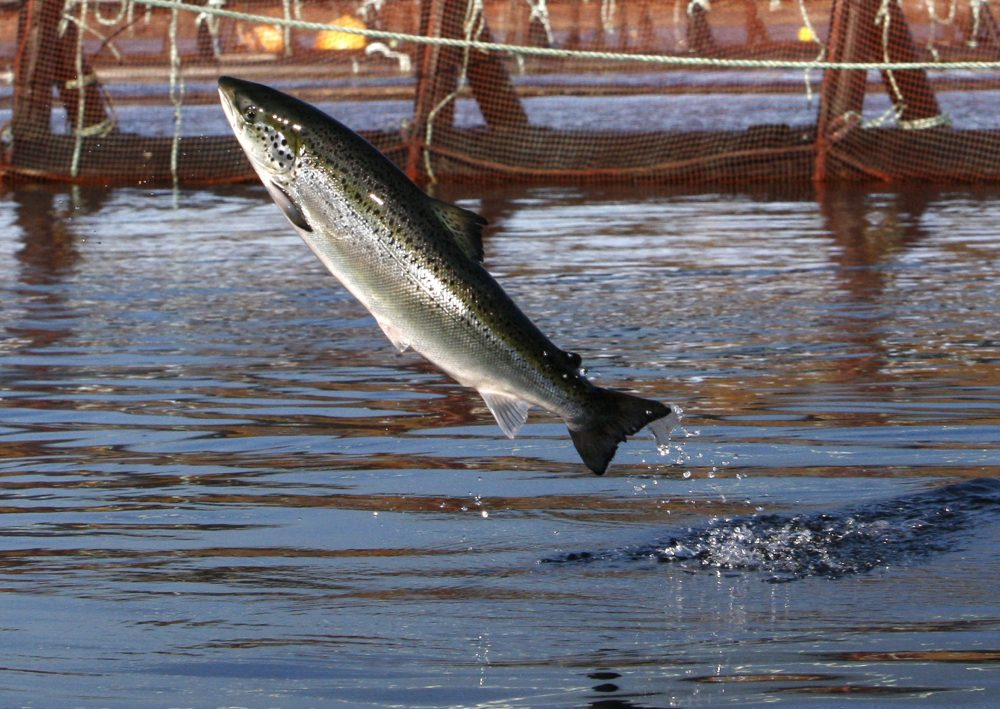An Atlantic salmon leaps out of the water at a Cooke Aquaculture farm pen near Eastport, Maine, in 2008. President Trump is hoping to dramatically increase aquaculture in the U.S., including expanding the long controversial sector of offshore aquaculture.