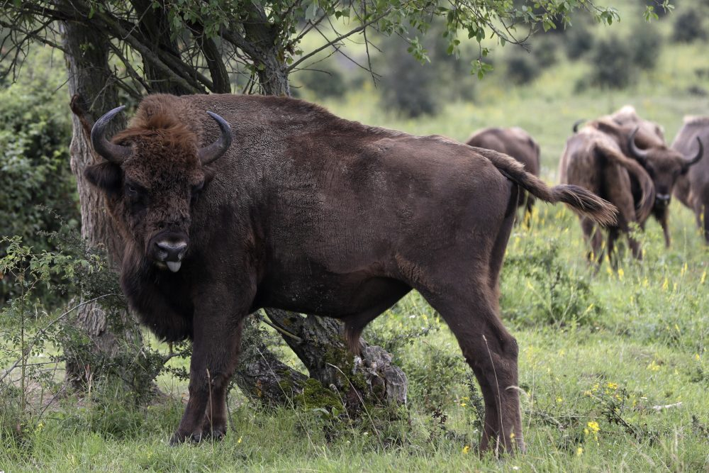 A bison rubs against a bush at a wildlife sanctuary in Milovice, Czech Republic, on July 17.