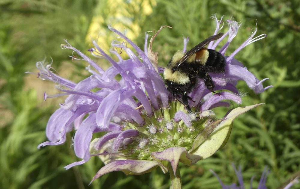 A rusty patched bumblebee is shown in Minnesota in 2016.
