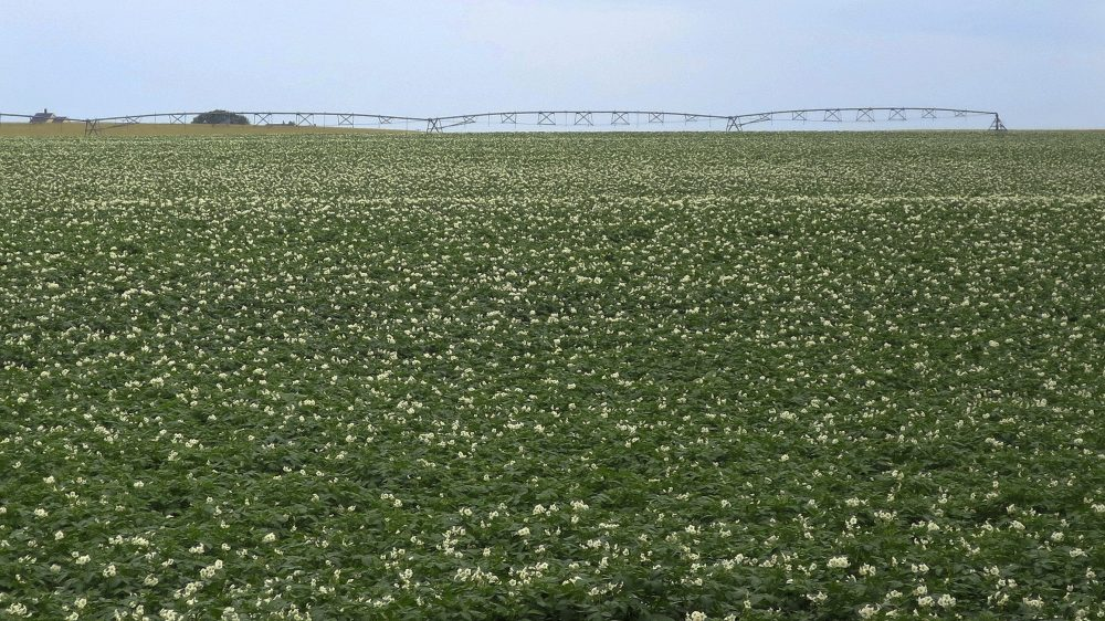 Fields are covered with flowering potato plants on July 19 near Fort Fairfield, Maine. The vast majority of Maine's thousands of acres of potato farms are located in Aroostook County in northern Maine, which is experiencing the driest summer on record.