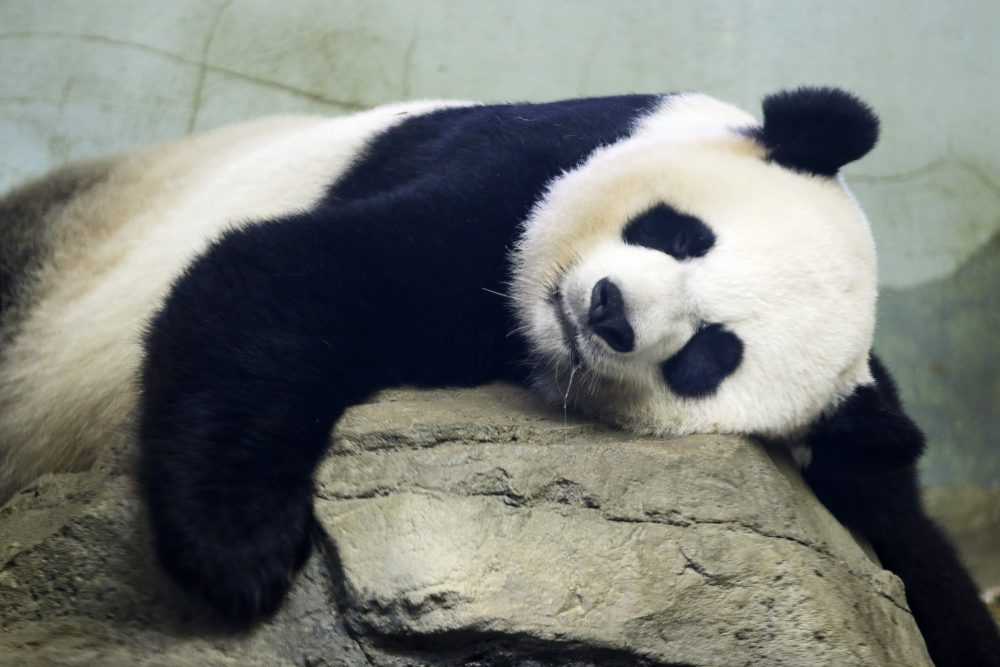 The Smithsonian National Zoo's giant panda Mei Xiang, shown taking a snooze in 2015, has delivered a cub.