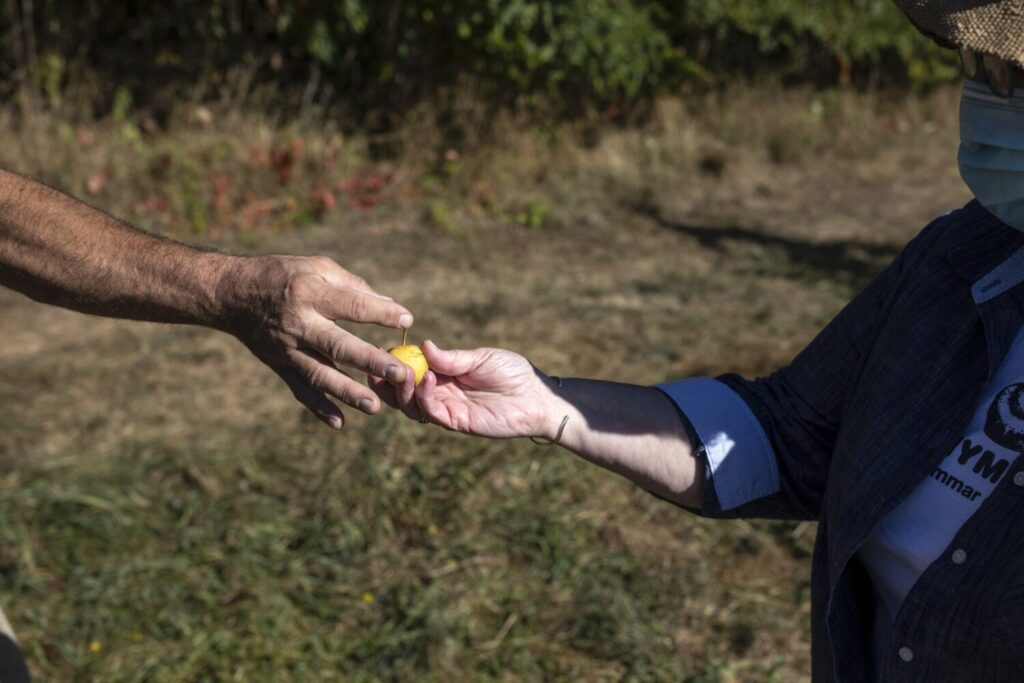A Gorham orchard owner blamed last year's drought for his undersized Asian pears, pictured here, as well as the smaller than usual apple harvest. Maine has experienced drought in three of the last five growing seasons.