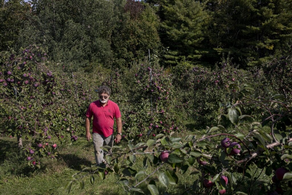 """Doles Orchard owner Earl Bunting walks through a part of his orchard in Limington on Thursday. Bunting installed drip irrigation this summer for his apples, at a cost of thousands of dollars. Bunting, who has been growing apples in Maine for over 30 years, said that this is the worst drought he has ever seen. """"It was so dry in early July I looked at my wife and said, 'We have to spend money on irrigation or these apples will be worth nothing,'"""" Bunting said."""