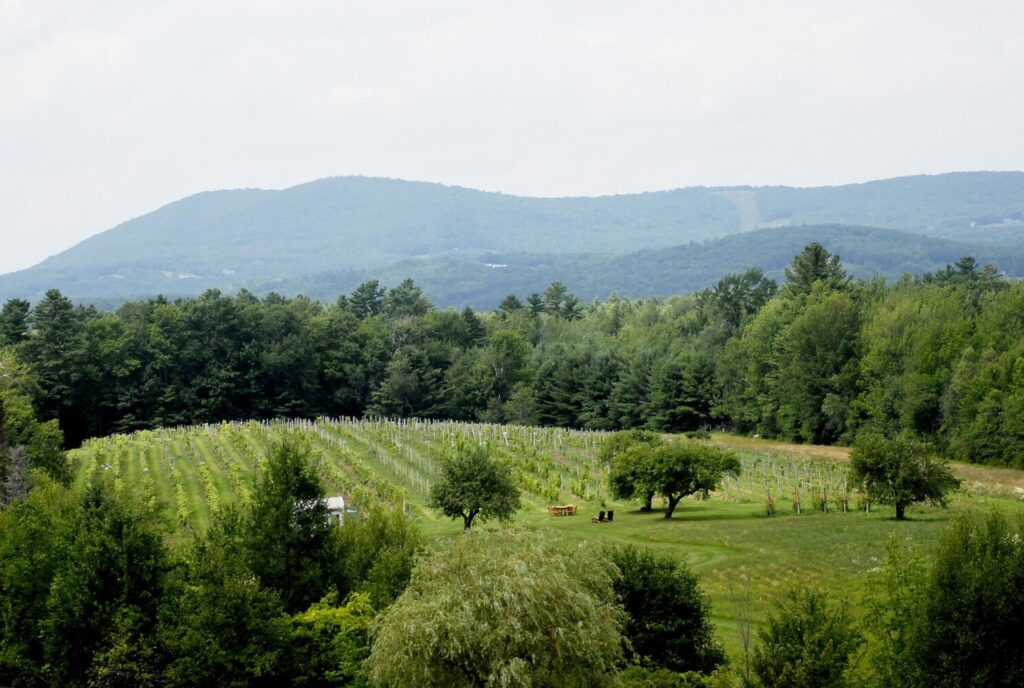 The view of the vineyard from the barn at Cellardoor Winery in Lincolnville.