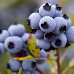 Maine_Blueberries_33010