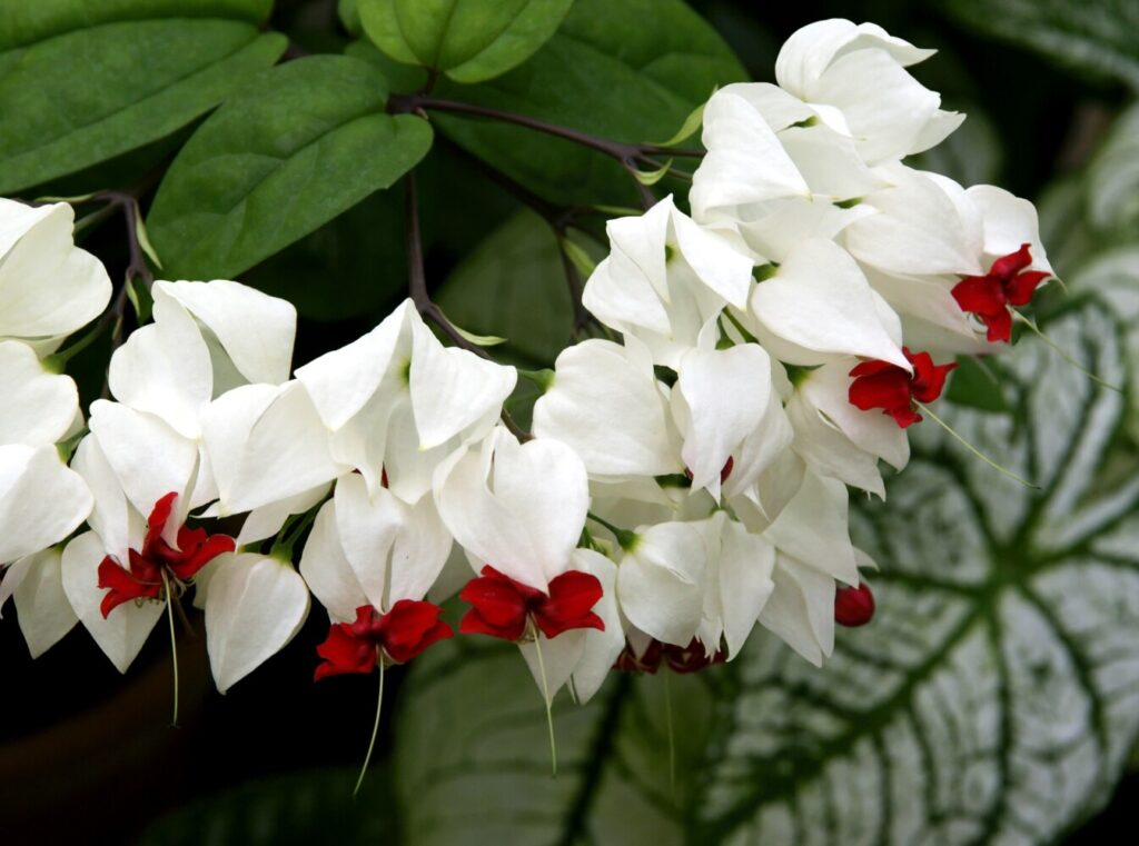 Columnist Tom Atwell's wife Nancy, an expert gardener, will be keeping the relatively expensive annual Clerodendrum Thomsoniae over the winter and return it to their garden next year.