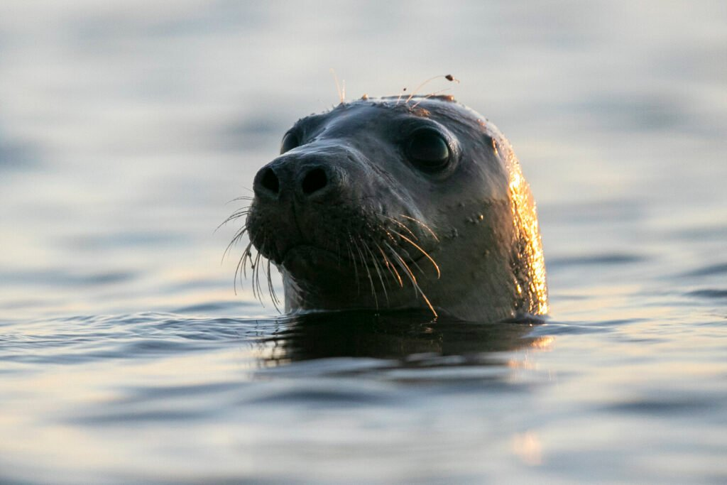 A harbor seal pokes its head out of the water in Casco Bay, Thursday, July 30, 2020, off Portland, Maine. Seals are thriving off the northeast coast thanks to decades of protections. While many fishermen are complaining about the increased seal population, some guides say the growth of seals has contributed to ecotourism and it would be silly to try to reverse that now. (AP Photo/Robert F. Bukaty)