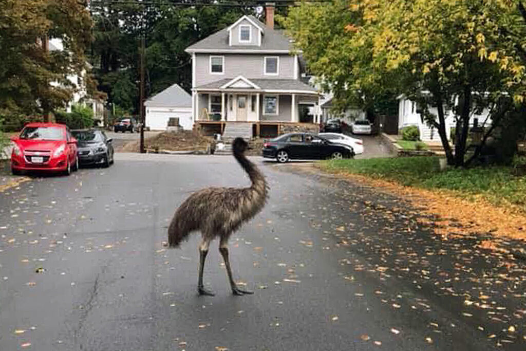 An emu walks on a neighborhood street on Wednesday in Haverhill, Mass. An animal control officer with the assistance of patrol officers safely corralled the big bird.