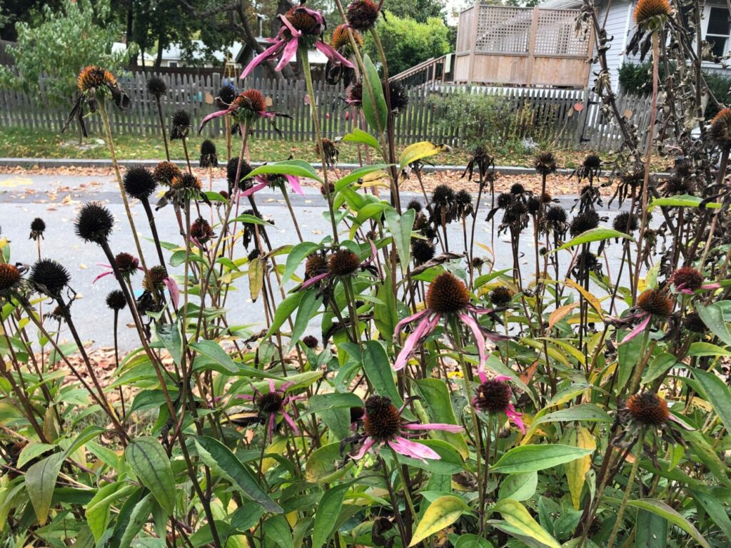 Should they stay or should they go? When fall arrives, you can either leave the remnants of perennial coneflowers to feed wild critters, or you can cut them down for a neat, tidy garden.