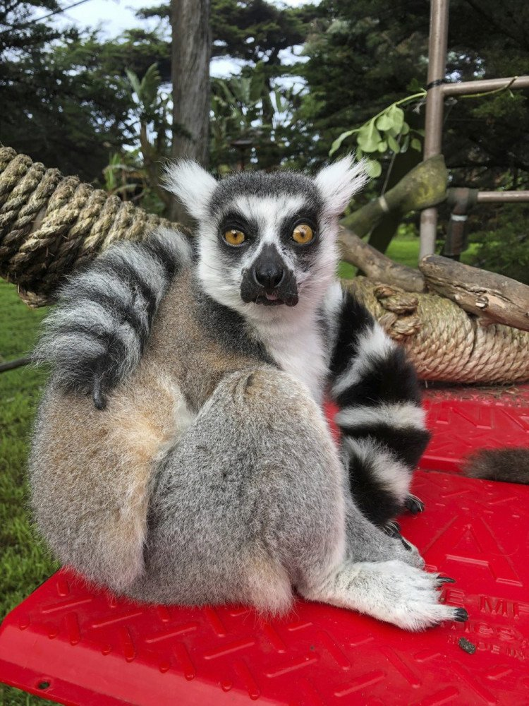 Maki, a ring-tailed lemur had been missing from the San Francisco Zoo after someone broke into an enclosure overnight and stole the endangered animal, police say.