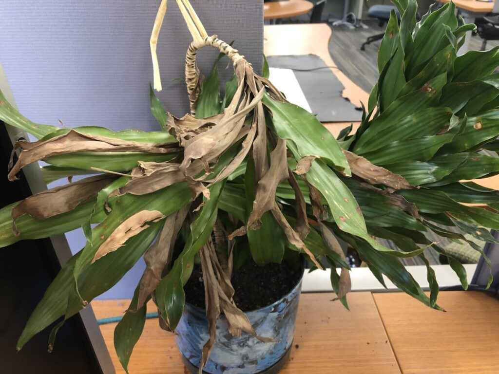 Only the strong survived. This office plant, seen in the Portland Press Herald newsroom in October, is ailing. But with some regular watering, it could probably survive. When office workers went home in droves because of the pandemic last March, many office plants were left behind.