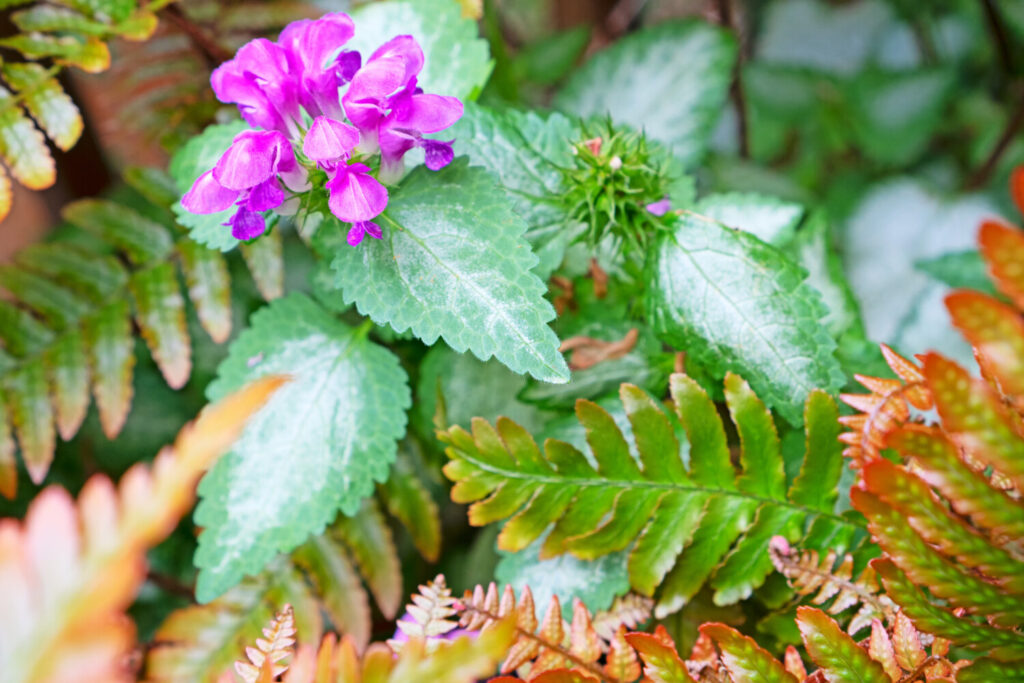 """Flowering spotted deadnettle """"Red Nancy."""" Among the reasons that columnist Tom Atwell likes this particular groundcover is that it shares a name with his wife. Also, it has attractive variegated green and white foliage and long-lasting blooms."""