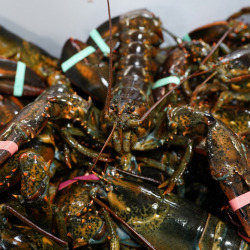Belgium_EU_US_Lobsters_23499