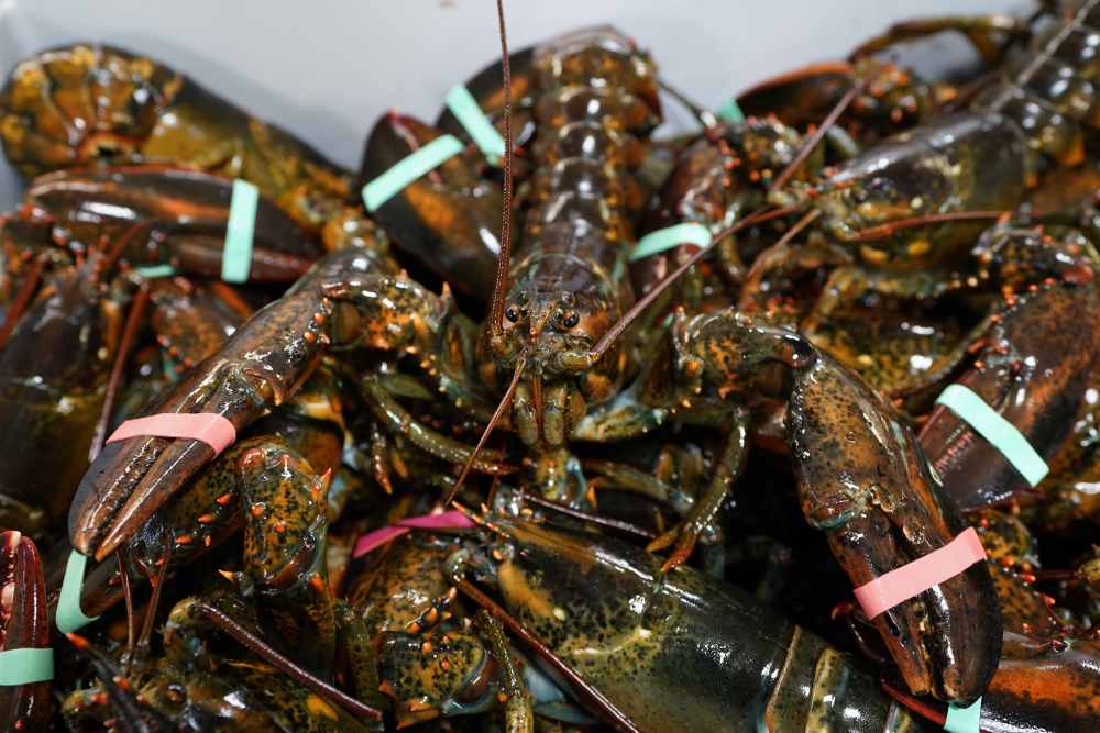 Lobsters sit in a crate Nov. 18 at a shipping facility in Arundel.