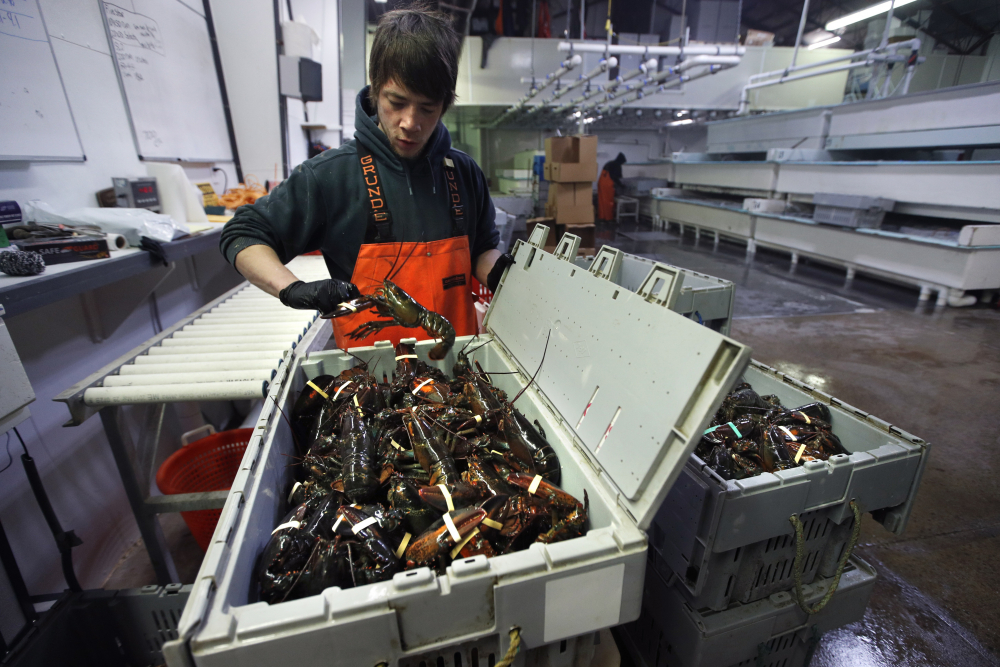Issac Nicoll packs lobsters for shipment at The Lobster Co. in Kennebunkport in March.
