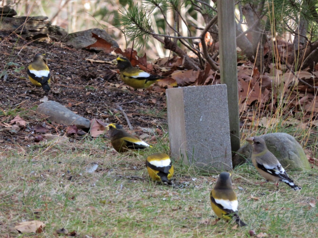 Evening Grosbeaks visit Palermo, three groups of four, seven and 12 passing through in the past week or so.