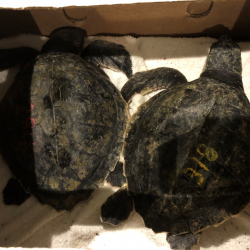 ODD_Rare_Turtles_Rough_Rescue_12475