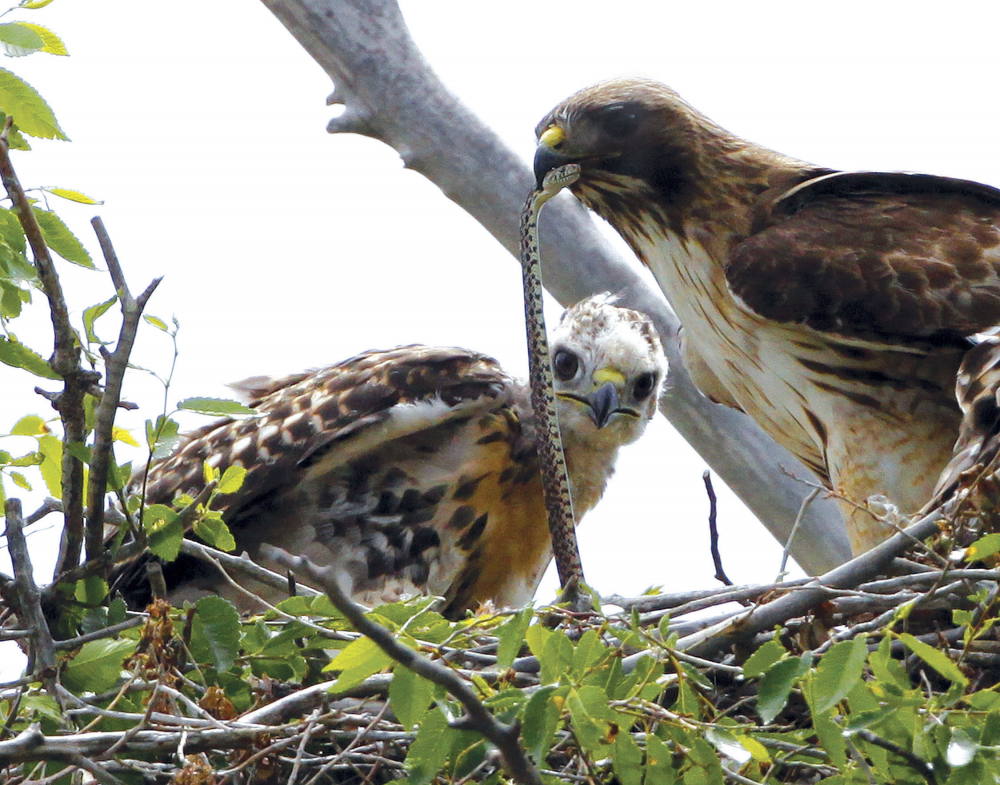A Redtail hawk feeds a snake to one of her young ones nested at the Rocky Mountain Wildlife Refuge in Commerce City, Colo., in 2009. The Trump administration moved forward Friday on gutting a longstanding federal protection for the nation's birds.