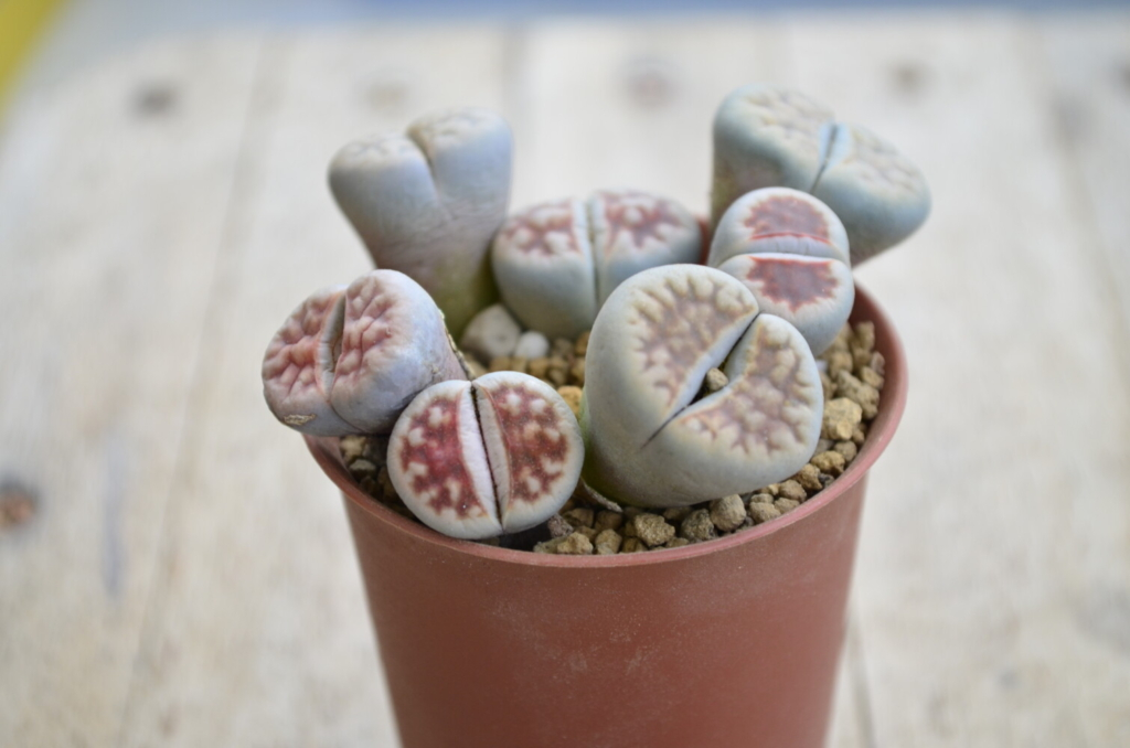 This is a plant, honest to god. Lithops, which come from Africa, resemble stones, a clever defense mechanism to keep insects from eating them.