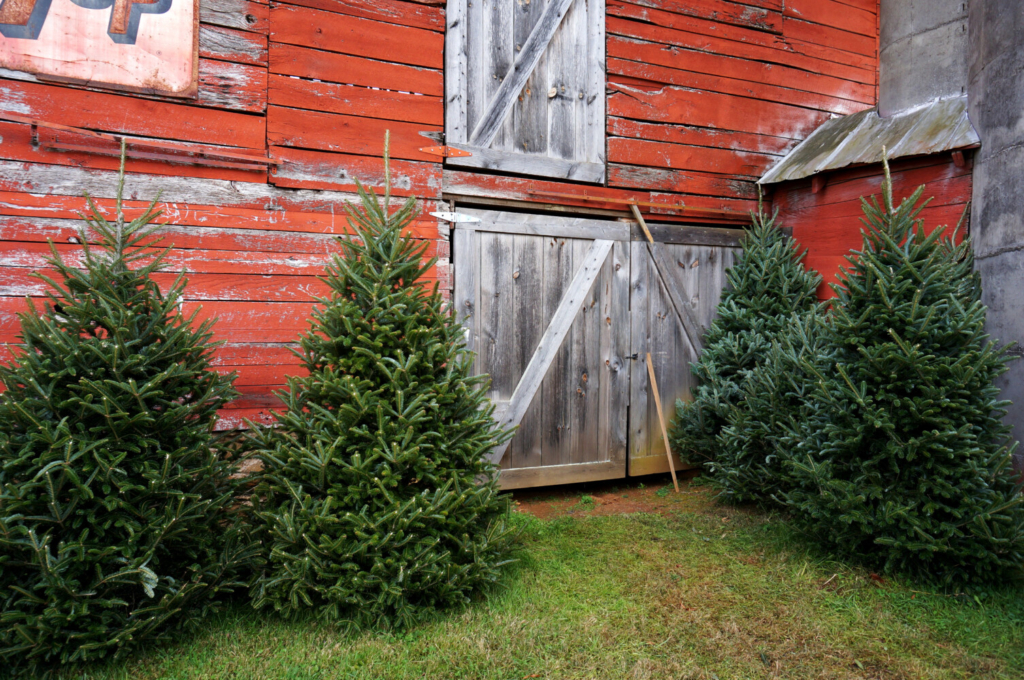"""Fraser firs may come """"from away"""" (and hey, so does Santa), but they have fewer messy needles."""