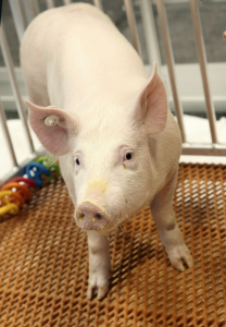 Genetically_Modified_Pigs_33957