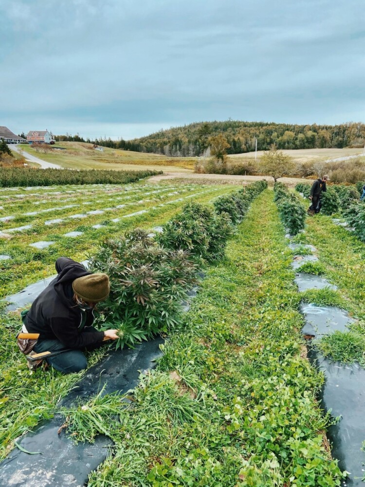 Two workers begin to harvest the hemp crop at Schoppee Farm in Machias by hand. Maine's hemp market all but collapsed in 2020 because of oversupply and other problems.