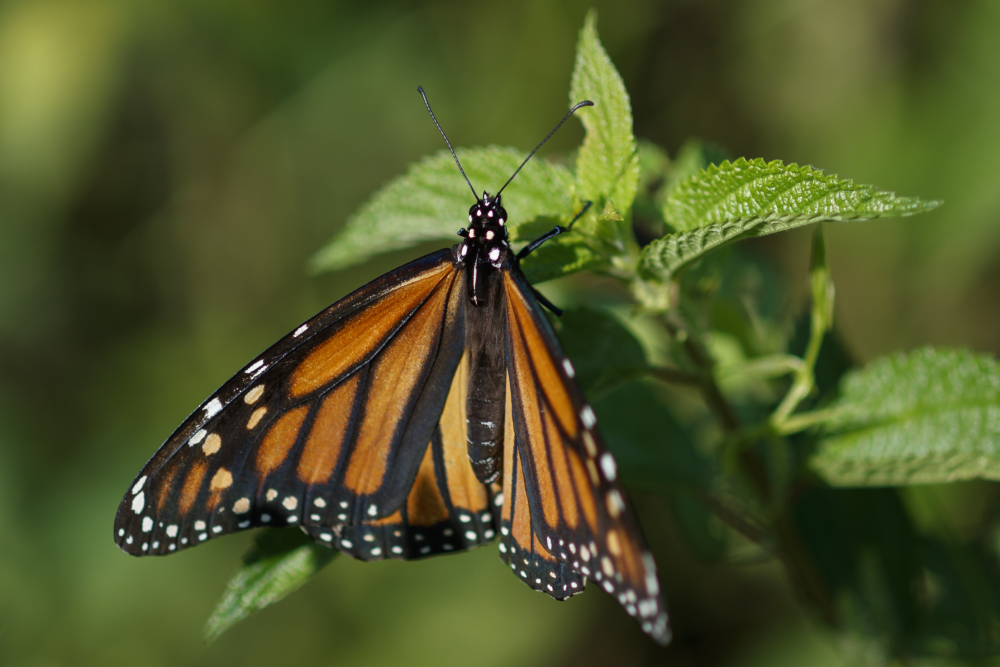 Monarch_Butterfly_Threatened_73296