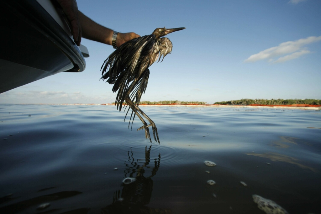 Plaquemines Parish Coastal Zone Director P.J. Hahn rescues a heavily oiled bird from the waters of Barataria Bay, La., in 2010. The Trump administration wants to end the criminal penalties under the Migratory Bird Treaty Act that pressure companies into taking measures to prevent unintentional bird deaths.
