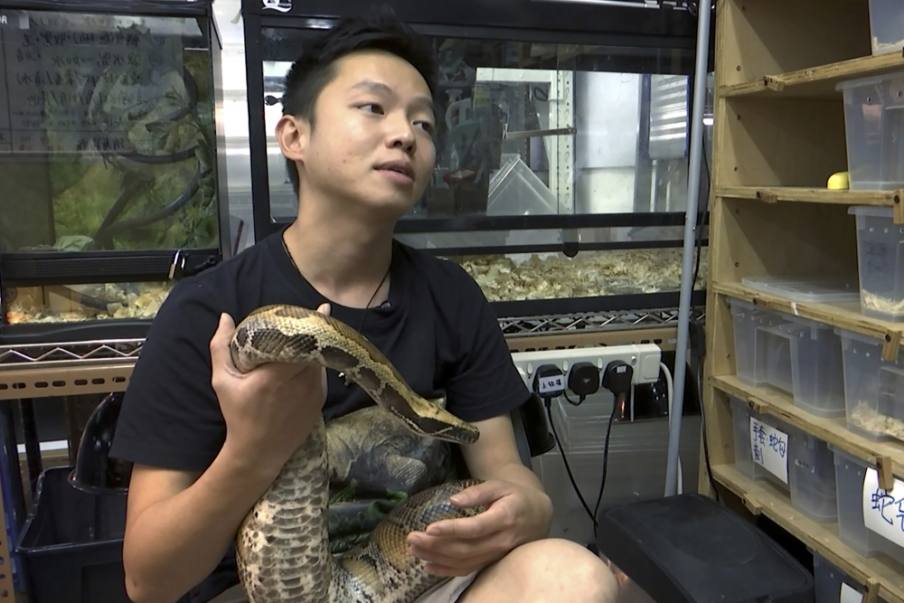 Ken Lee, a registered snake catcher, holds a python as he speaks during an interview at the Hong Kong Society of Herpetology Foundation on Dec. 10.