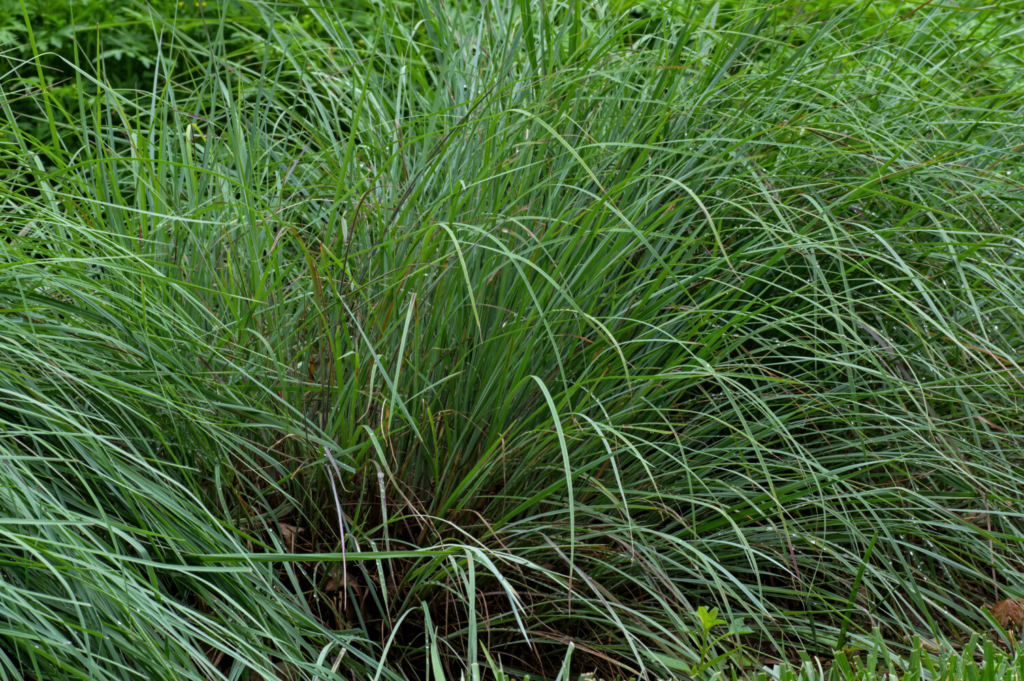 Don't give up on Little Bluestem, a short ornamental grass native to most of the U.S and Canada. It only flops when overwatered and overfed. It likes garden environments that mimic the dry, infertile soils it prefers in in the wild.