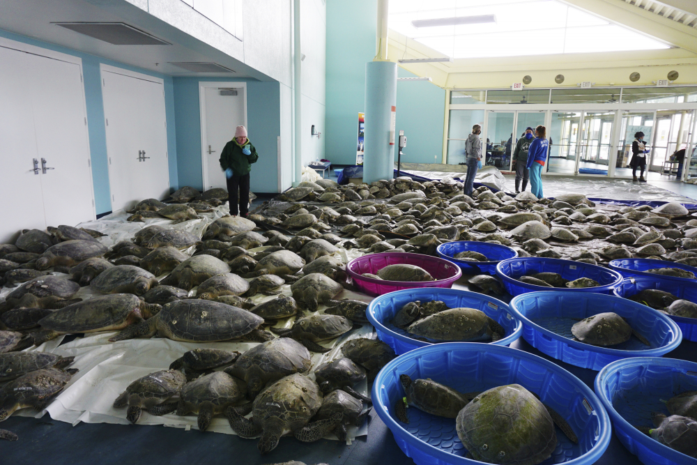 Thousands of Atlantic green sea turtles and Kemp's ridley sea turtles suffering from cold stun are laid out to recover Tuesday at the South Padre Island Convention Center on South Padre Island, Texas. (Miguel Roberts/The Brownsville Herald via AP)