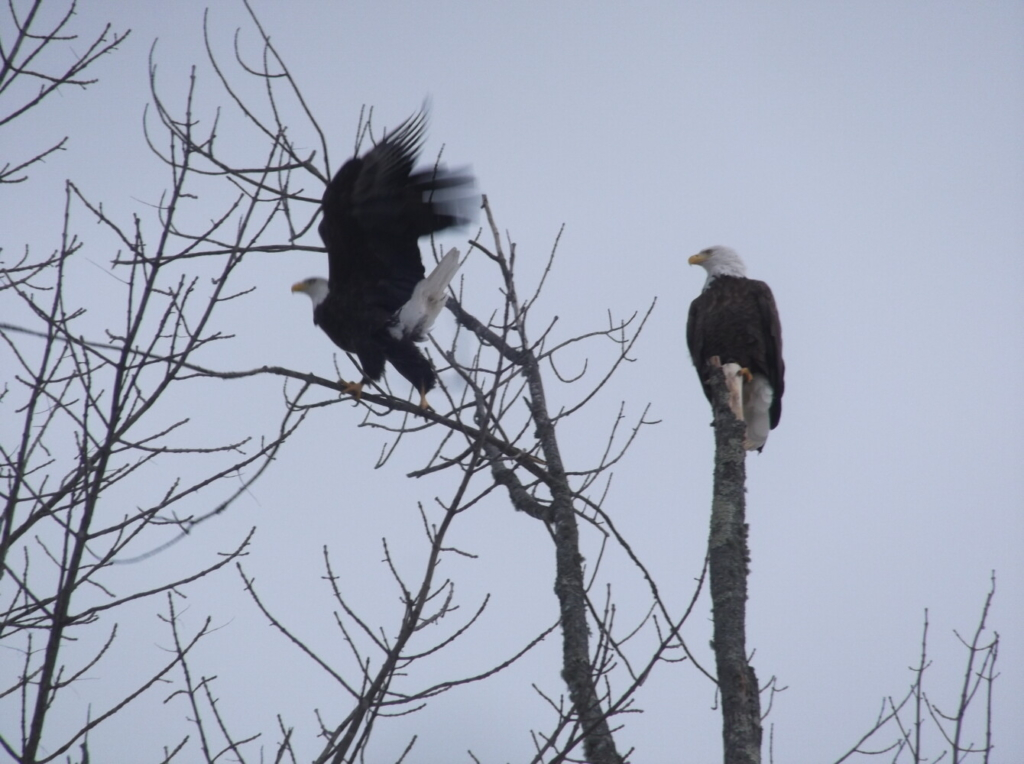 Two bald eagles perch in a tree in Monmouth.