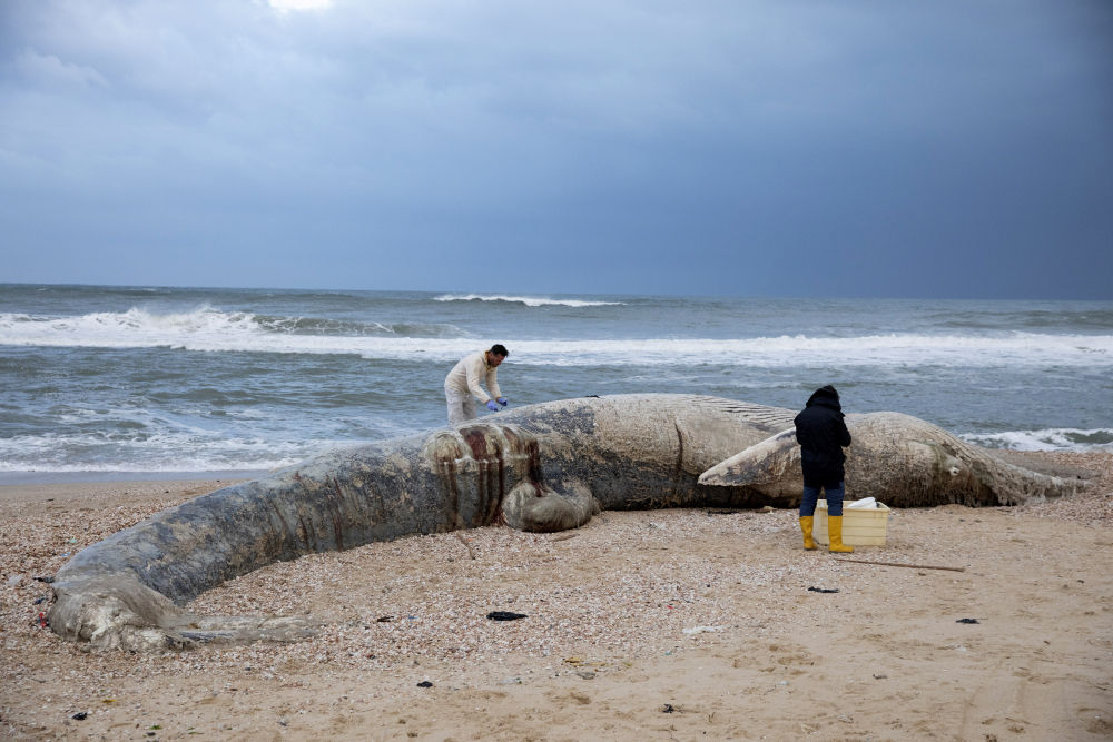 Danny Morick, marine veterinarian, and Aviad Scheinin take samples from a dead fin whale washed up on a beach in Nitzanim Reserve, Israel, on Friday. Officials believe cause of death was ingesting oil, but as of Sunday, test results had not returned.
