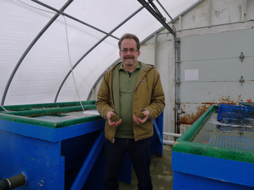 Steve Eddy, director of the Center for Cooperative Aquaculture Research at the University of Maine, holds two sea urchins raised as part of a research project. Researchers hope to figure out the best way to farm-raise sea urchins and convince aquaculture businesses to farm them.